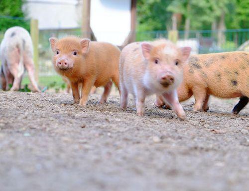 Minischweinanlage