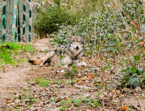 Neuer Wolf im Tierpark eingetroffen